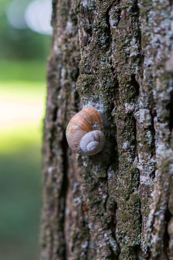 El caracol grande de la uva se arrastra lentamente hasta el árbol imágenes de archivo libres de regalías
