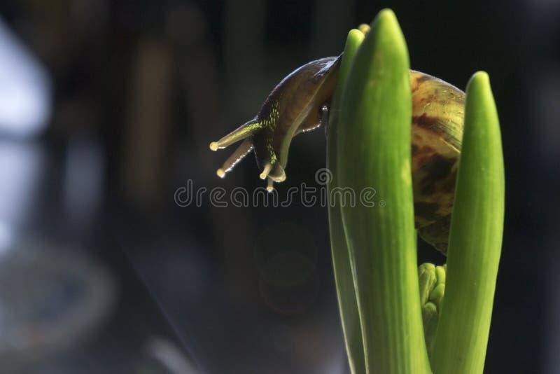 El caracol grande en el follaje del jacinto, cierre para arriba imagen de archivo