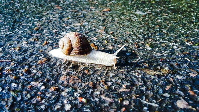 El caracol se arrastra a lo largo del camino mojado después de la lluvia Caracol de arrastre alcance cierta velocidad Raza para l imagenes de archivo
