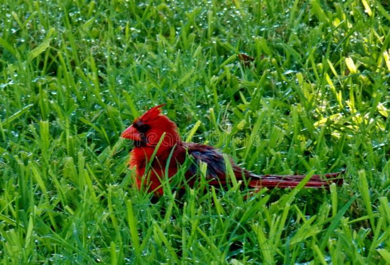 El cardenal de sexo masculino rojo brillante goza de la humedad en la hierba imagenes de archivo