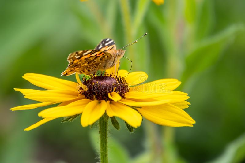 El cardui de Vanesa de la mariposa se sienta en una flor amarilla y bebe el néctar con su probóscide mariposa pintada de la se?or imagen de archivo