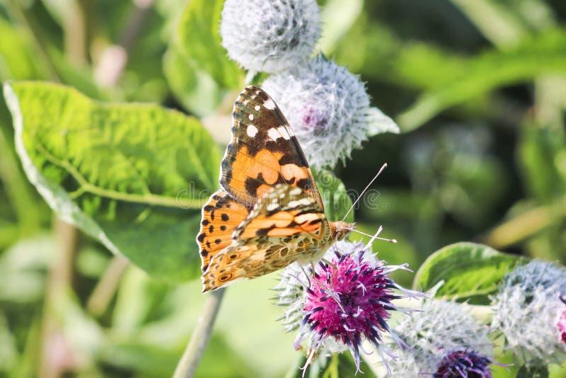 El cardui pintado mariposa de señora Vanesa del día se sienta en una flor de la bardana y un néctar de las bebidas foto de archivo