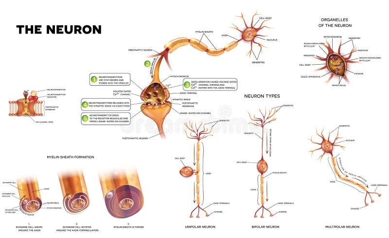 El cartel de la anatomía de la neurona ilustración del vector