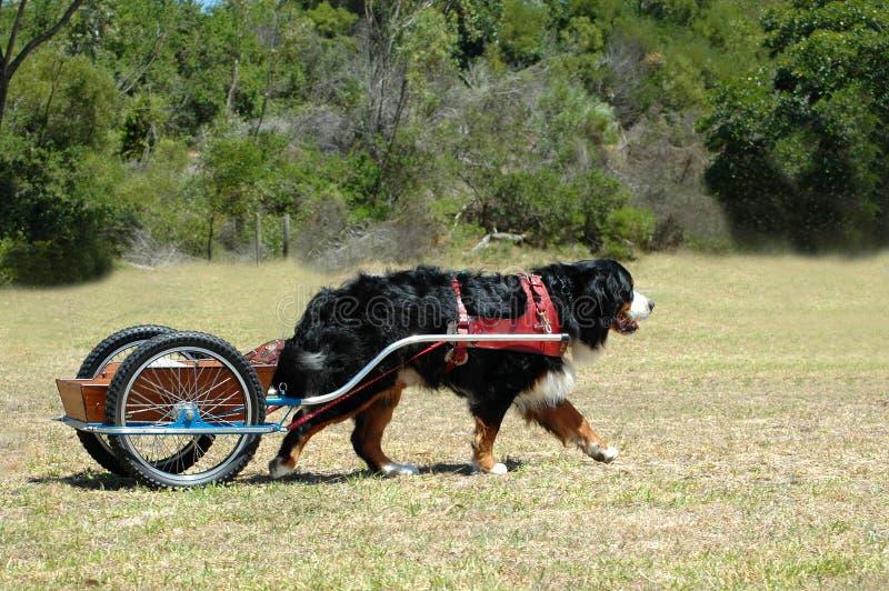 El carting del perro de montaña de Bernese foto de archivo
