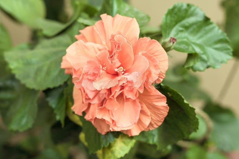 El caryophyllus del clavel del rosa de la flor o de clavo del clavel, es una planta perenne herbácea, color natural es púrpura ro fotografía de archivo libre de regalías