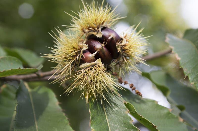 El castanea abierto sativa, castañas dulces ocultadas en cupules espinosos, marron nuts pardusco sabroso da fruto foto de archivo