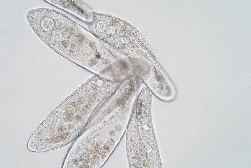 El caudatum del Paramecium es un género del protozoario ciliated unicelular foto de archivo