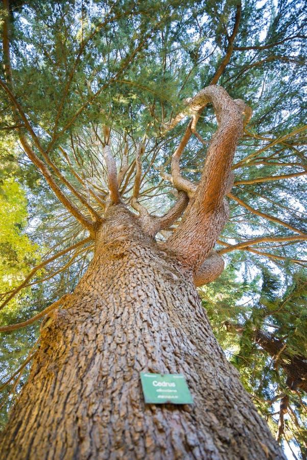 El Cedrus localiza en el jardín botánico, Christchurch, Nueva Zelanda fotografía de archivo libre de regalías