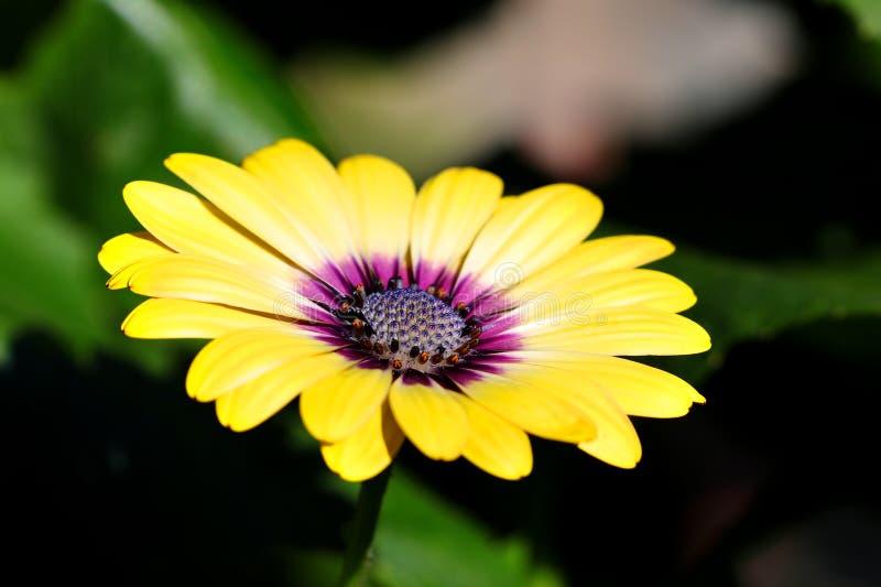 El centro púrpura Osteospermum florece margaritas amarillas de la flor de la margarita fotos de archivo