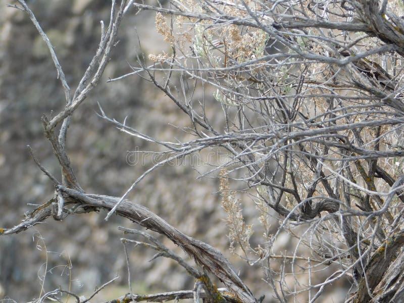 El cepillo sabio permanece a lo largo de la garganta torcida del río fotos de archivo