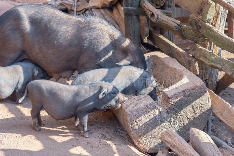 El cerdo con el hocico sucio cava el campo rural de tierra ; Reclinación fotografía de archivo libre de regalías