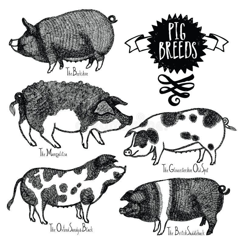 El cerdo cría la mano del estilo del bosquejo del ejemplo del vector dibujada libre illustration