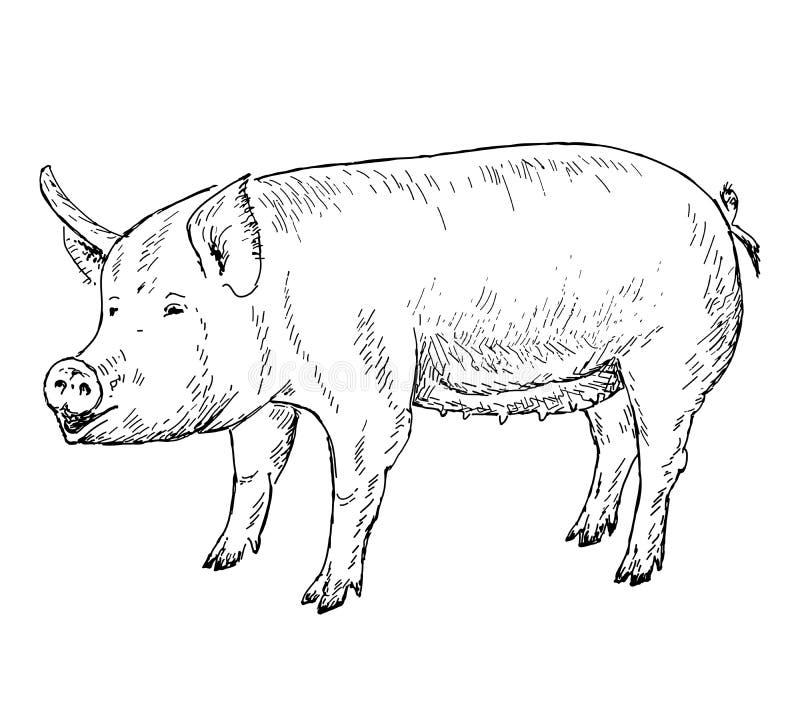 El cerdo da el dibujo ilustración del vector