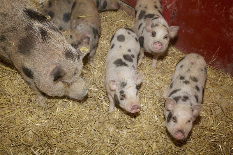 El cerdo y los cochinillos hambrientos de la barriga acogen con satisfacción el granjero y la cena en su pluma Paja-alineada fotografía de archivo