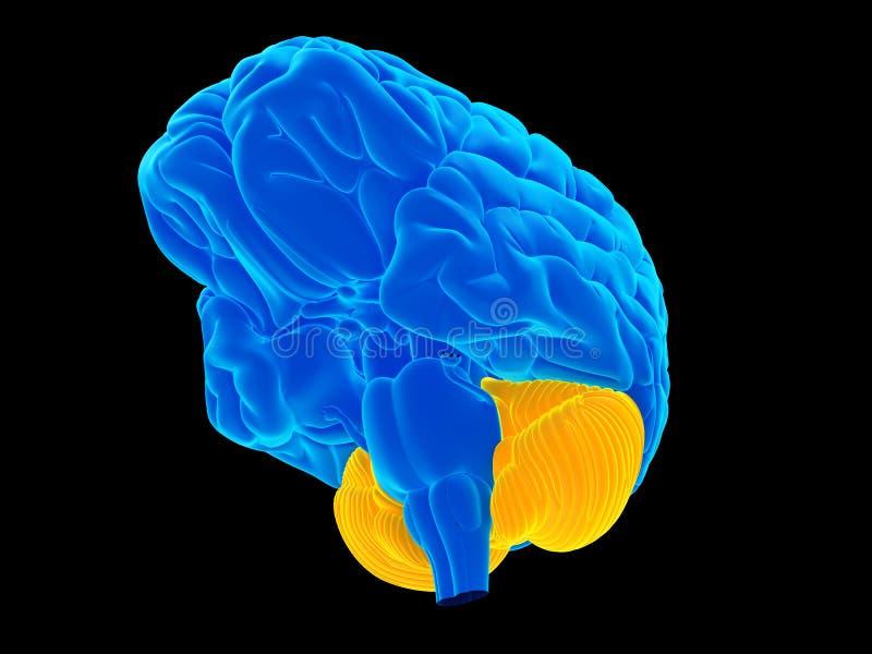 el cerebelo stock de ilustración