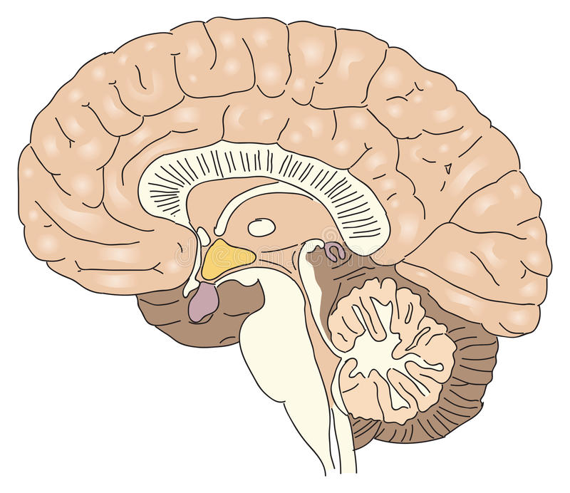 El cerebro humano ilustración del vector