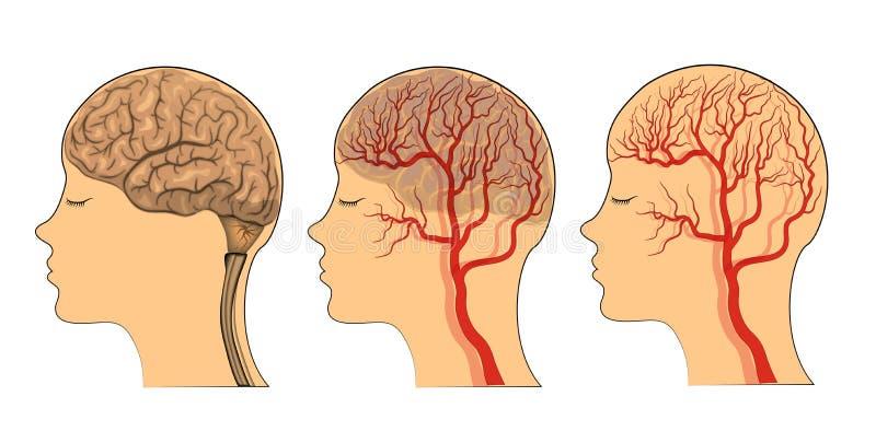 El cerebro, los buques del cerebro stock de ilustración