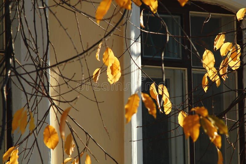 El cerezo iluminado por el sol del otoño se va y las ramas desnudas en el fondo de una ventana vieja de la casa fotos de archivo
