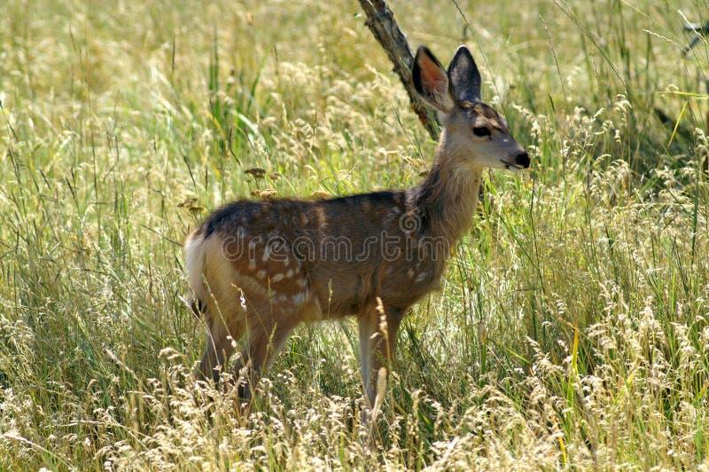 El cervatillo blanco-atado de los ciervos fotos de archivo libres de regalías