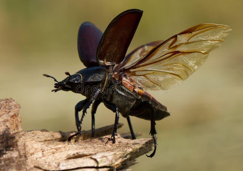 El cervus de Lucanus del escarabajo de macho en República Checa fotografía de archivo libre de regalías