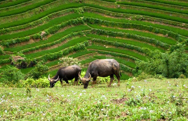 El chibarse de los búfalos de agua fotos de archivo