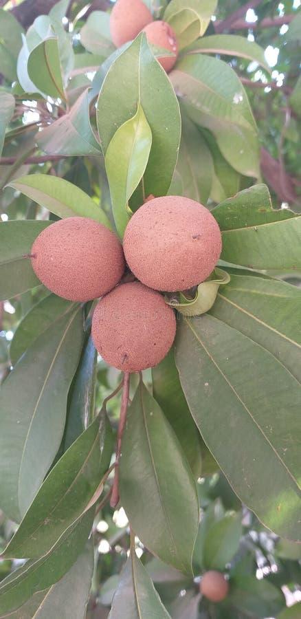 El chicoo es fruta dulce, esta fruta tiene valor nutritivo foto de archivo