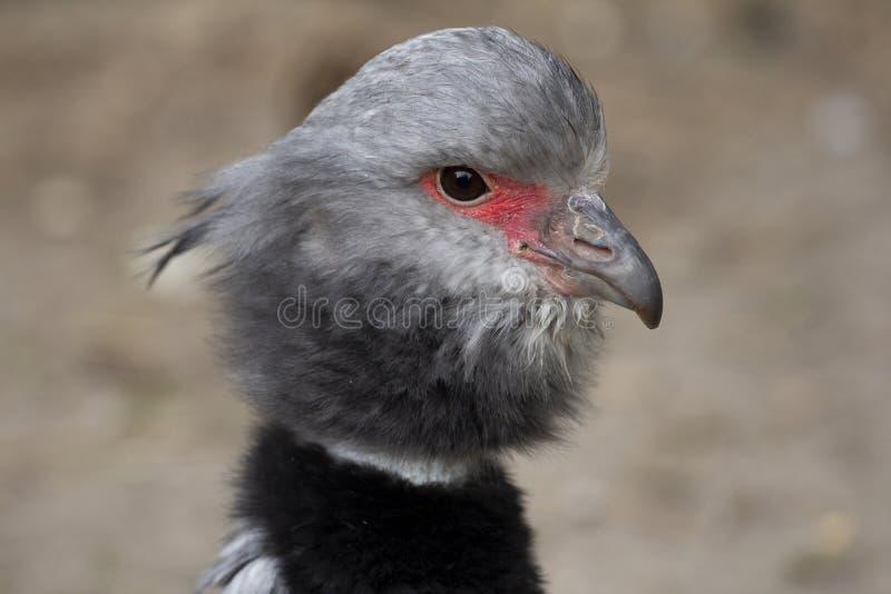 El chillón meridional, pájaro de Suramérica, pájaro con el cuello negro imágenes de archivo libres de regalías