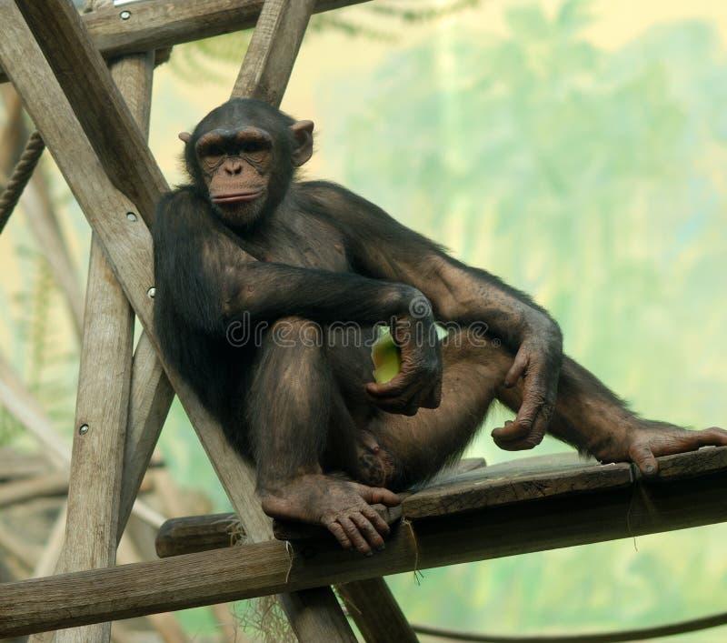 El chimpancé encendido se relaja fotos de archivo