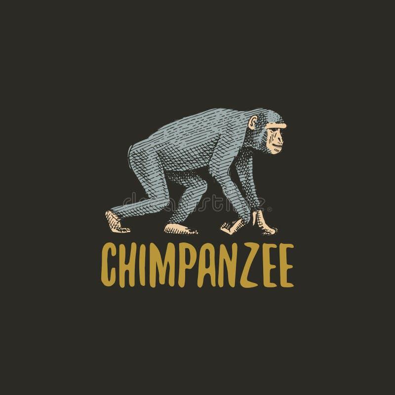 El chimpancé grabó la mano dibujada en viejo estilo del bosquejo, animales del vintage Logotipo o emblemas, etiqueta retra del mo libre illustration