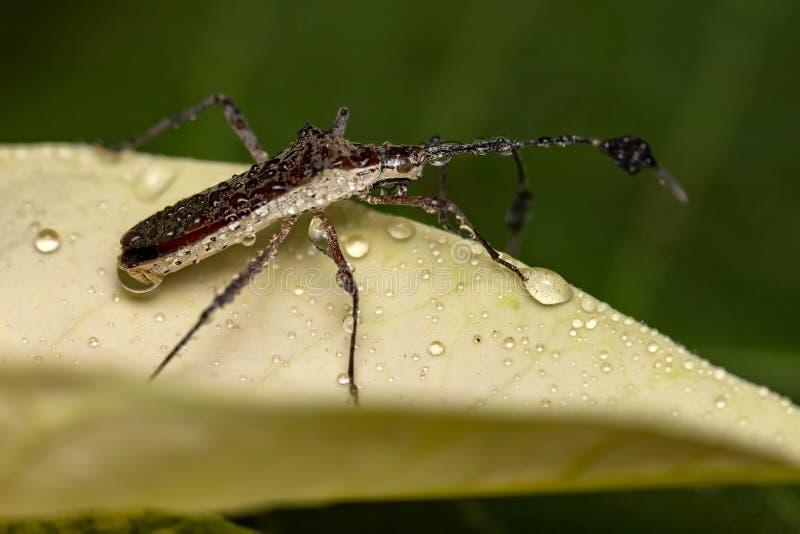 El chinche en la hoja con descensos del agua cierra para arriba - la pequeña foto macra de la vertical del insecto fotografía de archivo
