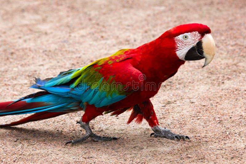 el chloroptera Rojo-y-azul del Ara del macaw fácil va en suelo arenoso fotografía de archivo libre de regalías