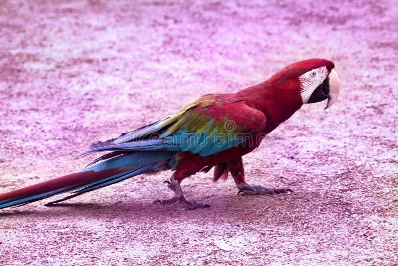 el chloroptera Rojo-y-azul del Ara del macaw fácil va en suelo arenoso fotos de archivo libres de regalías