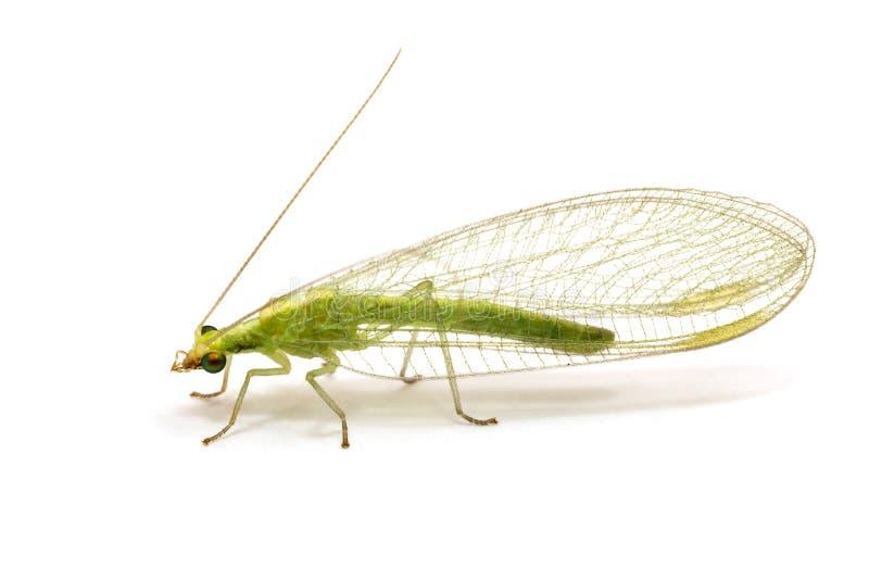 el Chrysopidae-insecto Lacewing verde aisló fotos de archivo libres de regalías