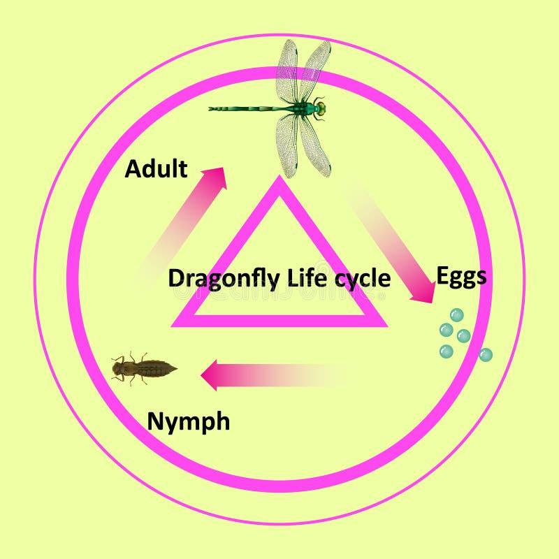 El ciclo de vida de una libélula ilustración del vector