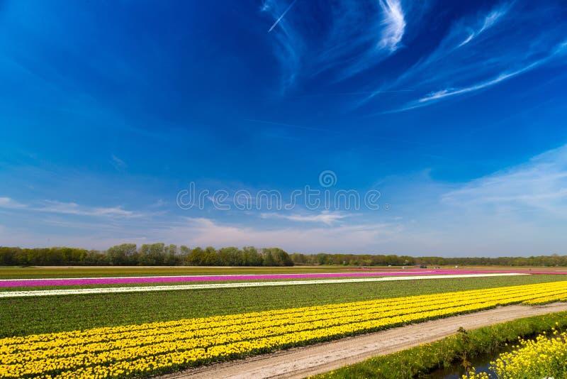El cielo azul sobre tulipán multicolor coloca cerca del pueblo de Lisse en los Países Bajos fotografía de archivo libre de regalías
