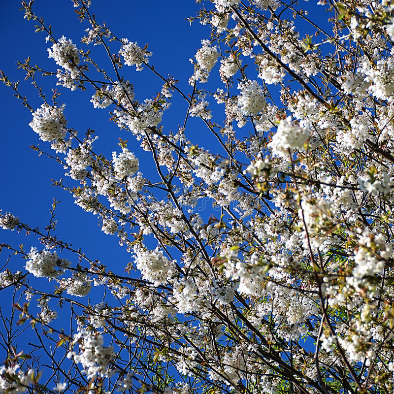 El cielo azul y el árbol floreciente, Trentham cultiva un huerto fotografía de archivo libre de regalías