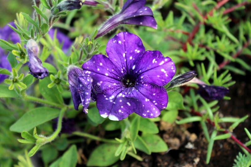 El cielo nocturno de la petunia florece parecer la constelación de estrellas blancas brillantes que brilla en los pétalos púrpura imagen de archivo libre de regalías