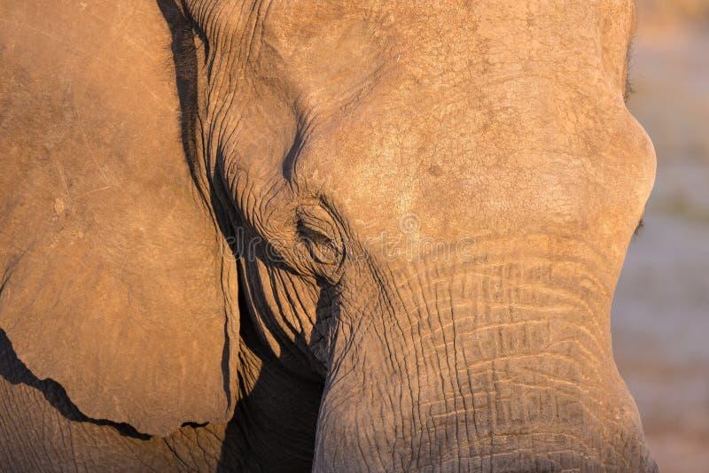 El cierre ascendente y el retrato de un elefante africano enorme golpearon por la luz caliente de la puesta del sol Safari en el  imagen de archivo libre de regalías