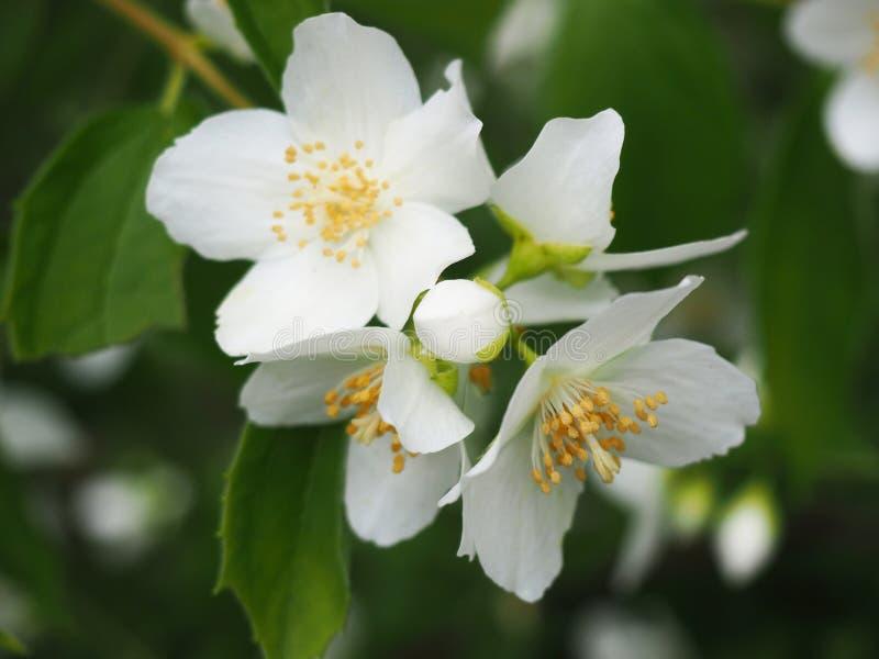 El cierre del Bud y las flores de la naranja burlona Filadelfia coronarius especie de planta floreciente en la Hydrangea imagen de archivo libre de regalías