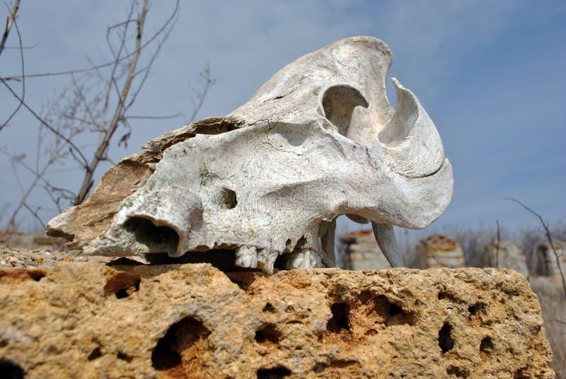 El cierre del cráneo de Bull encima del detalle que pone en roca crimea del coquina bloquea las paredes del fondo arruinado de la foto de archivo libre de regalías
