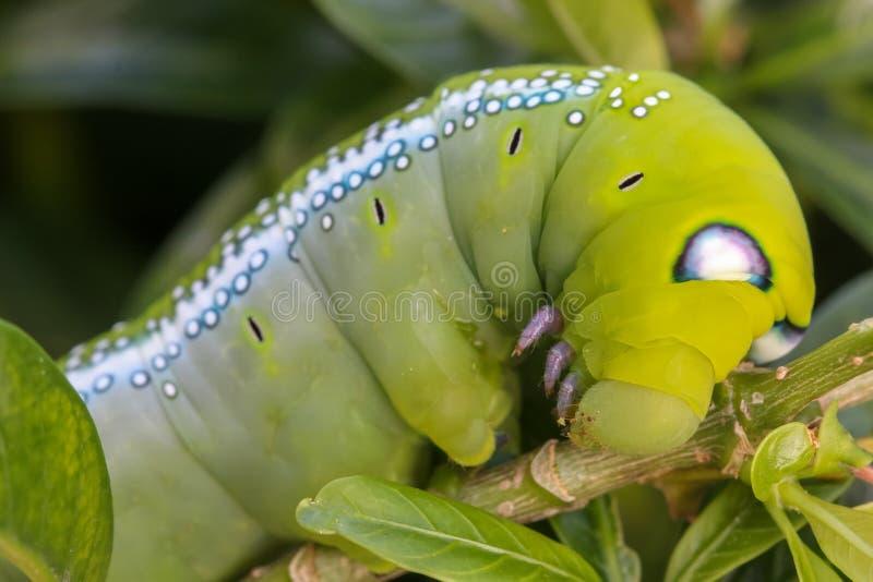 El cierre encima de Caterpillar/del gusano macros del verde está comiendo la hoja del árbol fotografía de archivo