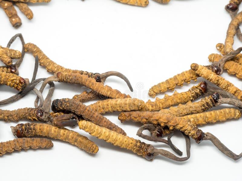 El cierre encima de cordyceps de la seta esto es las hierbas Propiedades medicinales en el tratamiento de enfermedades imagenes de archivo