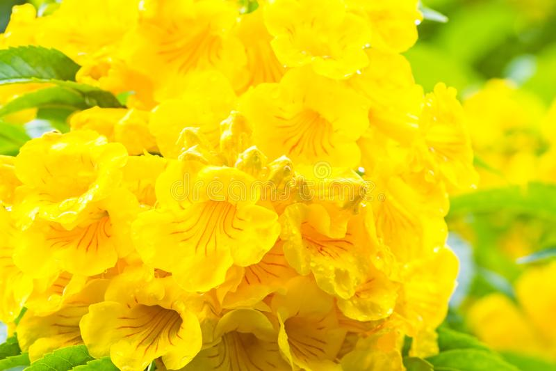 El cierre encima de la anciano amarilla, de campanas amarillas, o de Trumpetflower, nombre científico es stans de Tecoma fotografía de archivo
