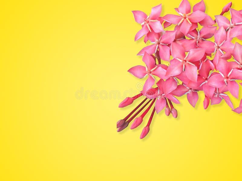El cierre encima de la flor roja hermosa del punto del tiro rápido chinensis, flor rojo de Ixora es floración aislada en fondo am imágenes de archivo libres de regalías