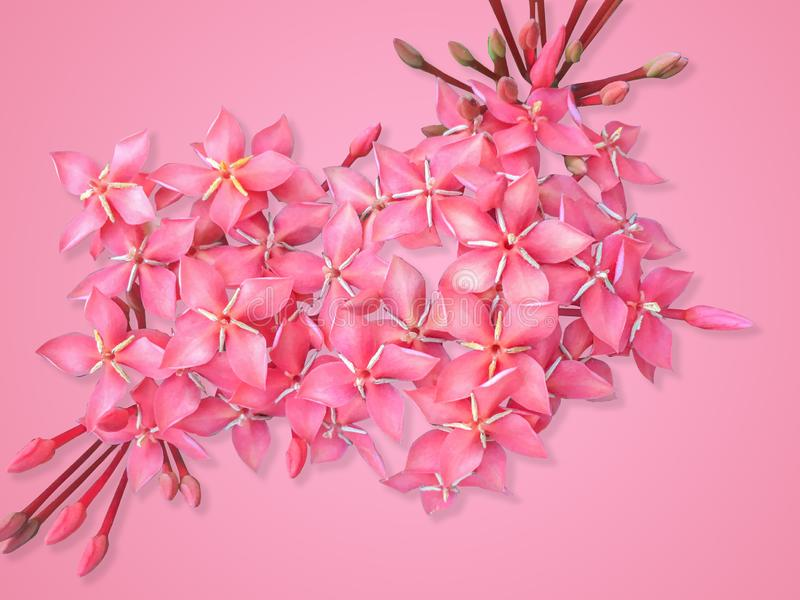 El cierre encima de la flor roja hermosa del punto del tiro rápido chinensis, flor rojo de Ixora es floración aislada en fondo ro imagen de archivo