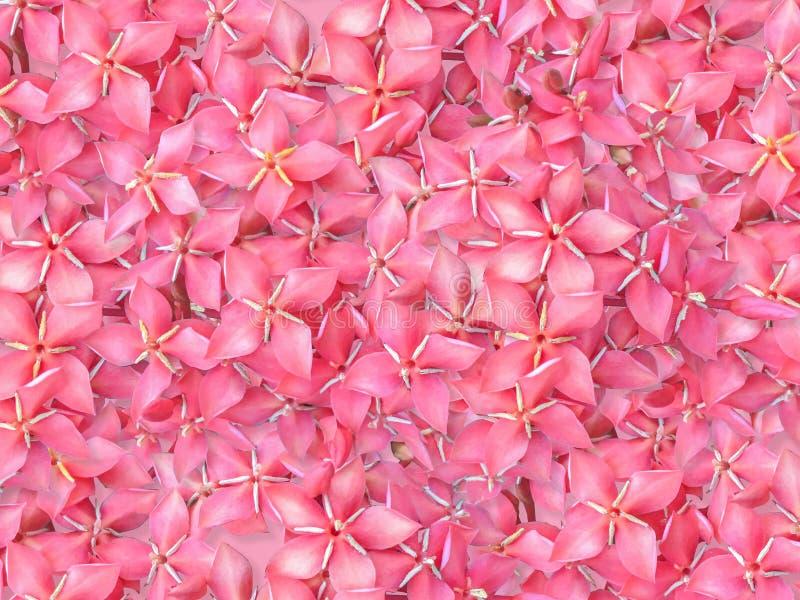 El cierre encima de la flor roja hermosa del punto del tiro rápido chinensis, flor rojo de Ixora es floración imagenes de archivo