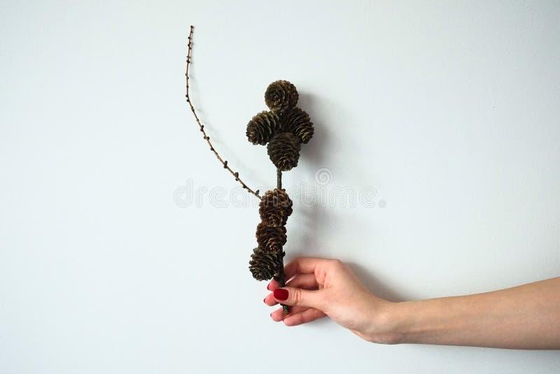 El cierre encima de la mano de la hembra lleva a cabo verticalmente una rama de un árbol de pino con los conos aislados en un fon foto de archivo