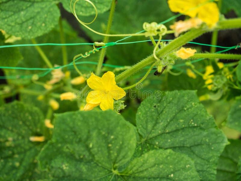 El cierre encima de la opinión sobre el pepino verde se va con los kukes en el jardín Pequeña abeja que recoge la harina de cerea imagenes de archivo