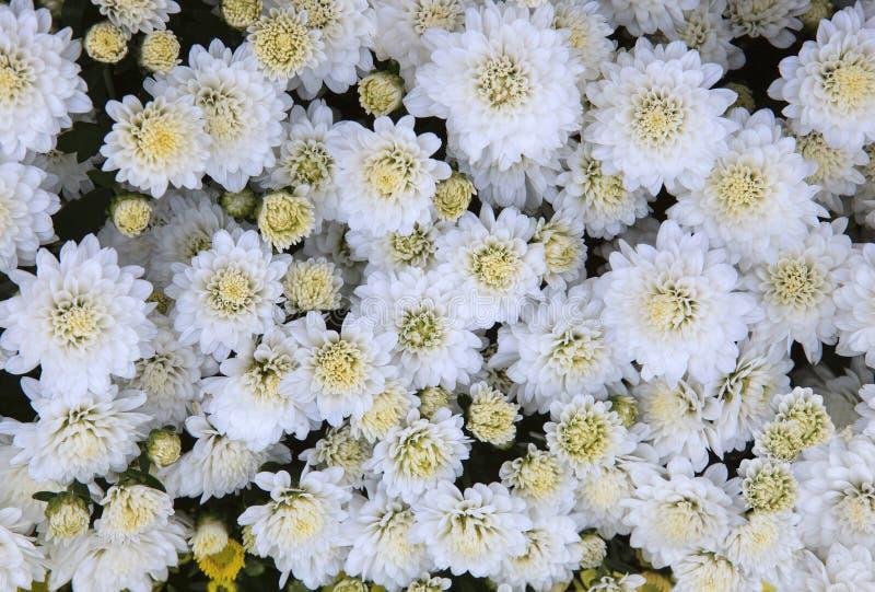 El cierre encima de la vista superior de las flores blancas del crisantemo utiliza como beautifu fotos de archivo