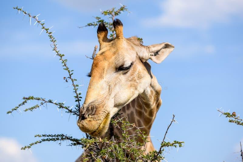 El cierre encima de la vista de un árbol principal del acacia de la consumición del ` s de la jirafa se va fotos de archivo